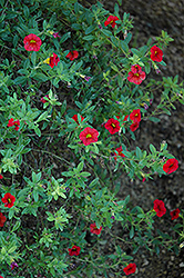 Superbells® Scarlet Calibrachoa (Calibrachoa 'Superbells Scarlet') at Hicks Nurseries