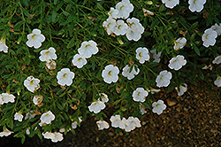 Superbells® Trailing White Calibrachoa (Calibrachoa 'Superbells Trailing White') at Hicks Nurseries