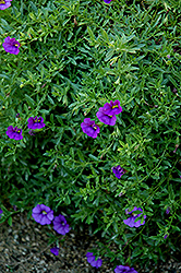 Superbells® Trailing Blue Calibrachoa (Calibrachoa 'Superbells Trailing Blue') at Hicks Nurseries