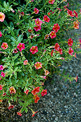 Superbells® Tequila Sunrise Calibrachoa (Calibrachoa 'Superbells Tequila Sunrise') at Hicks Nurseries