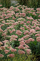 Autumn Joy Stonecrop (Sedum 'Autumn Joy') at Hicks Nurseries