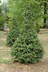 Castle Spire® Meserve Holly (Ilex x meserveae 'Hachfee') at Hicks Nurseries