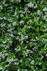 Confederate Star-Jasmine (Trachelospermum jasminoides) at Hicks Nurseries