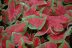 Frieda Hemple Caladium (Caladium 'Frieda Hemple') at Hicks Nurseries