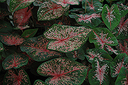 Pink Beauty Caladium (Caladium 'Pink Beauty') at Hicks Nurseries