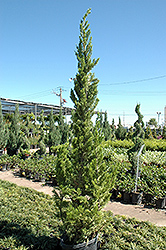 Hollywood Juniper (Juniperus chinensis 'Torulosa') at Hicks Nurseries