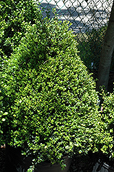 Compact Japanese Holly (Ilex crenata 'Compacta') at Hicks Nurseries
