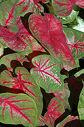 Scarlet Beauty Caladium (Caladium 'Scarlet Beauty') at Hicks Nurseries