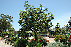 Common Persimmon (Diospyros virginiana) at Hicks Nurseries