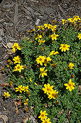 Flare Petite Gold Bidens (Bidens ferulifolia 'Flare Petite Gold') at Hicks Nurseries