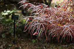 Hubb's Red Willow Japanese Maple (Acer palmatum 'Hubb's Red Willow') at Hicks Nurseries
