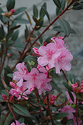 Aglo Rhododendron (Rhododendron 'Aglo') at Hicks Nurseries