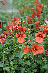 Juliet Orange Twinspur (Diascia 'Juliet Orange') at Hicks Nurseries