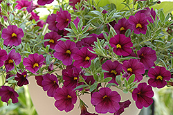 Superbells® Plum Calibrachoa (Calibrachoa 'Superbells Plum') at Hicks Nurseries