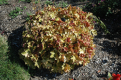 Caramel Coral Bells (Heuchera 'Caramel') at Hicks Nurseries