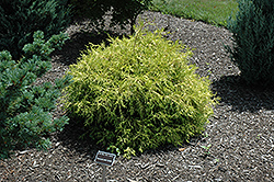 Golden Mop Falsecypress (Chamaecyparis pisifera 'Golden Mop') at Hicks Nurseries