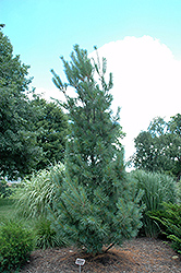 Columnar White Pine (Pinus strobus 'Fastigiata') at Hicks Nurseries