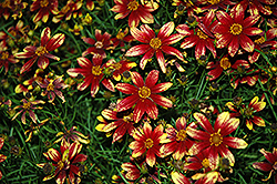 Route 66 Tickseed (Coreopsis verticillata 'Route 66') at Hicks Nurseries