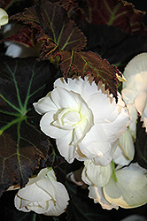 Nonstop® Mocca White Begonia (Begonia 'Nonstop Mocca White') at Hicks Nurseries