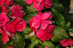 Vitesse Rose Vinca (Catharanthus roseus 'Vitesse Rose') at Hicks Nurseries