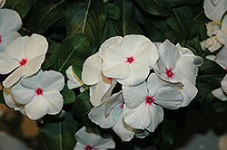 Vitesse Peppermint Vinca (Catharanthus roseus 'Vitesse Peppermint') at Hicks Nurseries