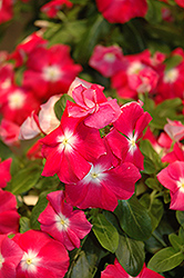 Vitesse Rose Morn Vinca (Catharanthus roseus 'Vitesse Rose Morn') at Hicks Nurseries