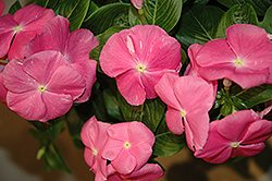 Vitesse Pink Vinca (Catharanthus roseus 'Vitesse Pink') at Hicks Nurseries