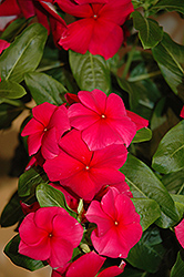 Vitesse Red Vinca (Catharanthus roseus 'Vitesse Red') at Hicks Nurseries