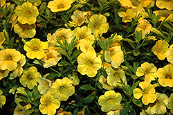 Callie® Yellow Calibrachoa (Calibrachoa 'Callie Yellow') at Hicks Nurseries