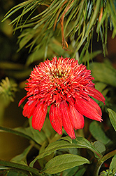 Double Scoop™ Cranberry Coneflower (Echinacea 'Balscanery') at Hicks Nurseries