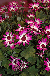 Senetti® Magenta Bicolor Pericallis (Pericallis 'Senetti Magenta Bicolor') at Hicks Nurseries