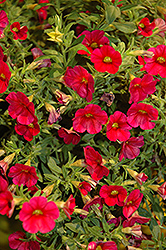 Callie® Bright Red Calibrachoa (Calibrachoa 'Callie Bright Red') at Hicks Nurseries