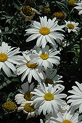 Little Princess Shasta Daisy (Leucanthemum x superbum 'Little Princess') at Hicks Nurseries