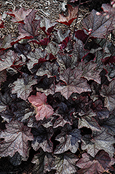Carnival Plum Crazy Coral Bells (Heuchera 'Plum Crazy') at Hicks Nurseries