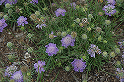 Blue Note Pincushion Flower (Scabiosa columbaria 'Blue Note') at Hicks Nurseries