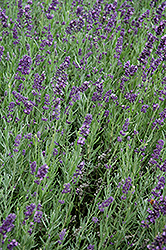 SuperBlue Lavender (Lavandula angustifolia 'SuperBlue') at Hicks Nurseries
