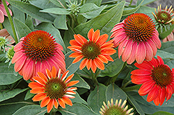Sombrero® Hot Coral Coneflower (Echinacea 'Balsomcor') at Hicks Nurseries