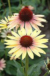 Evening Glow Coneflower (Echinacea 'Evening Glow') at Hicks Nurseries