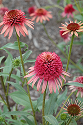 Irresistible Coneflower (Echinacea 'Irresistible') at Hicks Nurseries