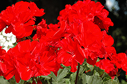Presto Brilliant Red Geranium (Pelargonium 'Presto Brilliant Red') at Hicks Nurseries