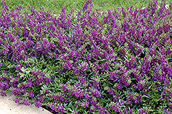 AngelMist® Spreading Dark Purple Angelonia (Angelonia angustifolia 'AngelMist Spreading Dark Purple') at Hicks Nurseries