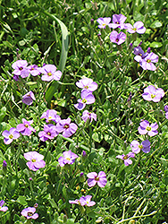 Rock Cress (Aubrieta columnae) at Hicks Nurseries
