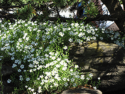 Mountain Sandwort (Arenaria montana) at Hicks Nurseries