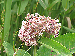 Common Milkweed (Asclepias syriaca) at Hicks Nurseries
