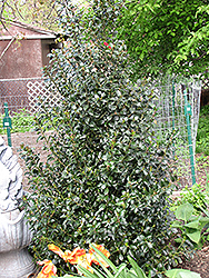 Blue Maid Meserve Holly (Ilex x meserveae 'Mesid') at Hicks Nurseries