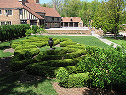 Compact Korean Boxwood (Buxus microphylla 'Compacta') at Hicks Nurseries