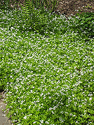 Sweet Woodruff (Galium odoratum) at Hicks Nurseries