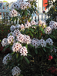 Calsap Rhododendron (Rhododendron 'Calsap') at Hicks Nurseries