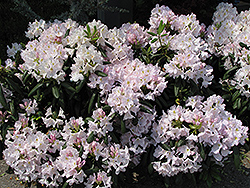 White Catawba Rhododendron (Rhododendron catawbiense 'Album') at Hicks Nurseries
