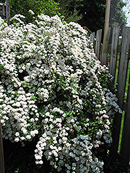 Vanhoutte Spirea (Spiraea x vanhouttei) at Hicks Nurseries